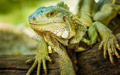 Acertijo de iguanas